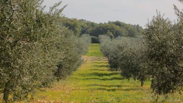 Olive grove for sale Krnica